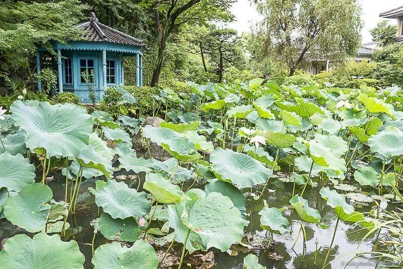 A Lotus Garden at Shitennoji Temple in Osaka, Japan