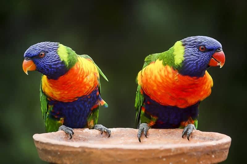 Rainbow Lorikeet Parrot at St Kilda in Melbourne