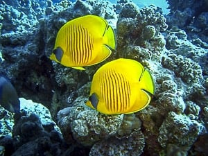 Yellow engel fish