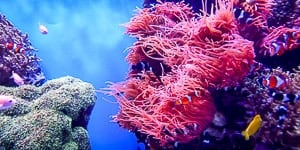 Red soft corals with a lot of clown fish