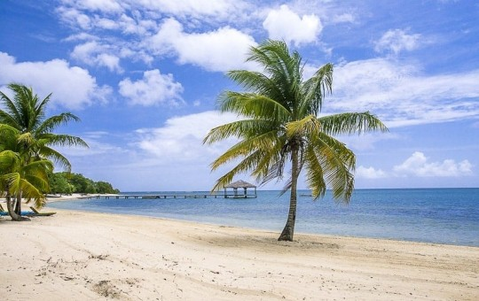 A palm tree standing on Palmetto Bay Beach over Mahogany Bay in Roatan, Honduras